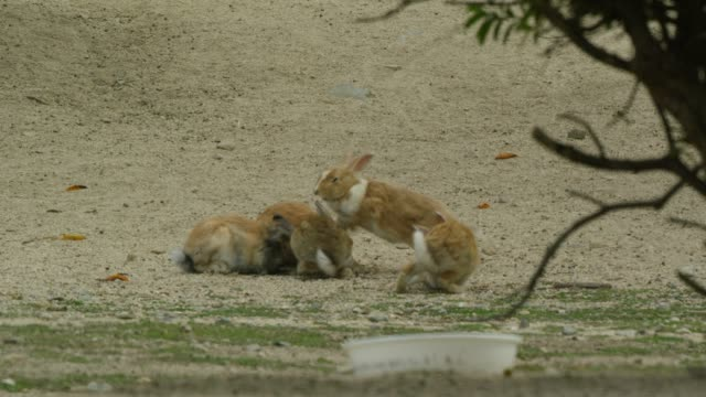 Group of feral domestic rabbits play fight on beach