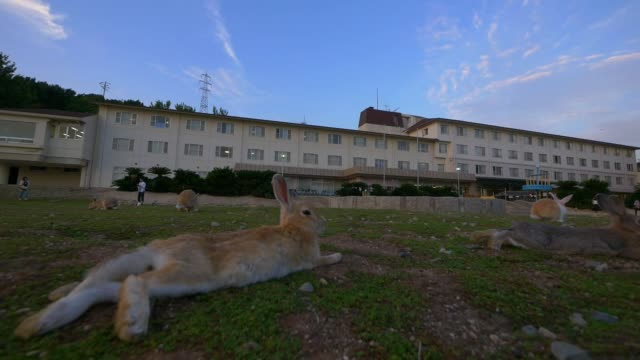 SLOMO group of feral domestic rabbits rest on rough grass with hotel in background