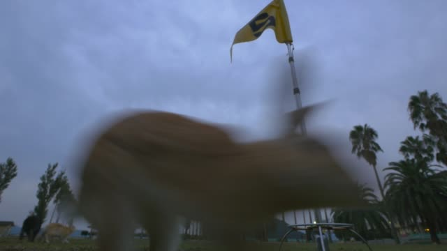 la group of feral domestic rabbits run close to camera past golf flag - golf flag stock videos & royalty-free footage