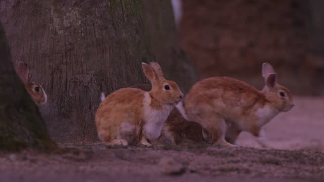 Group of feral domestic rabbits run in profile under trees