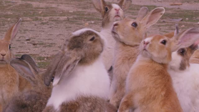 CU group of feral domestic rabbits standing on rough grass very close to camera
