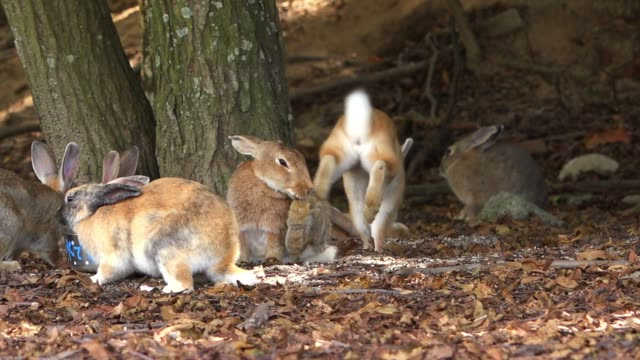 vidéos et rushes de slomo group of feral domestic rabbits under trees with one grooming - hiroshima prefecture