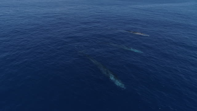 group of fin whales swimming in blue ocean, 4k - fin whale stock videos & royalty-free footage