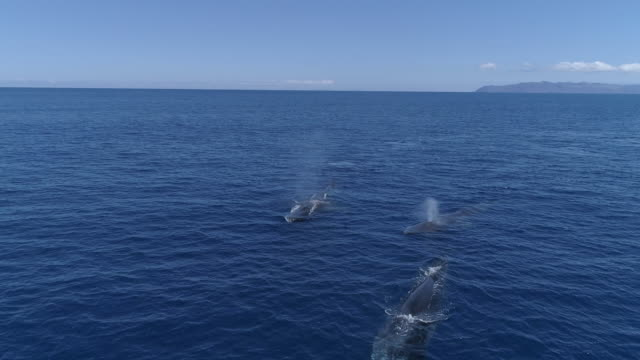 group of fin whales swimming in blue ocean, approach - fin whale stock videos & royalty-free footage