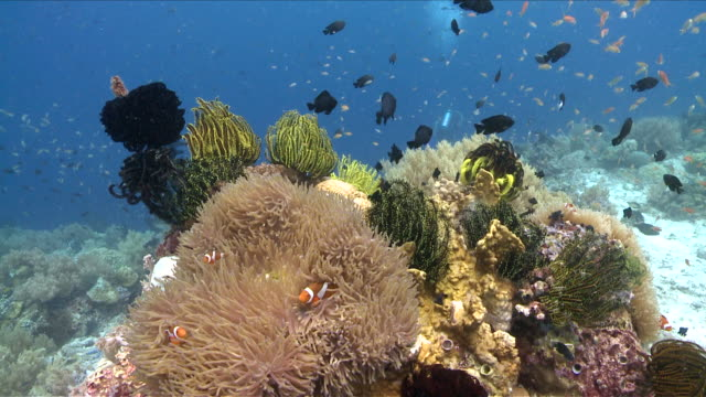 MS Group of fish swim in front of coral reef / Visayan Islands, The Visayans, Philippines