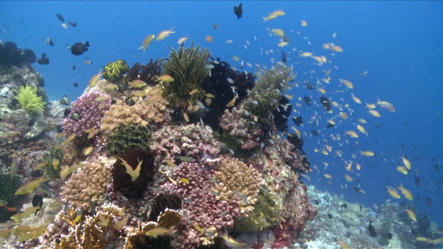 MS Group of fish swimming over reef / Visayan Islands, The Visayans, Philippines