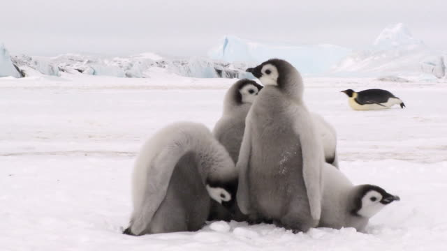 group of five penguin chicks - young bird stock videos & royalty-free footage