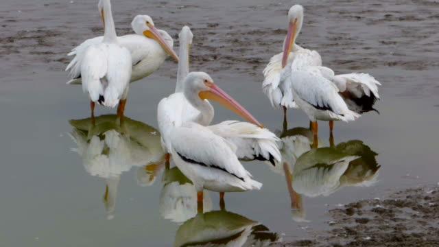 gruppo di cinque bianco pellicani lisciarsi le piume - gruppo medio di animali video stock e b–roll