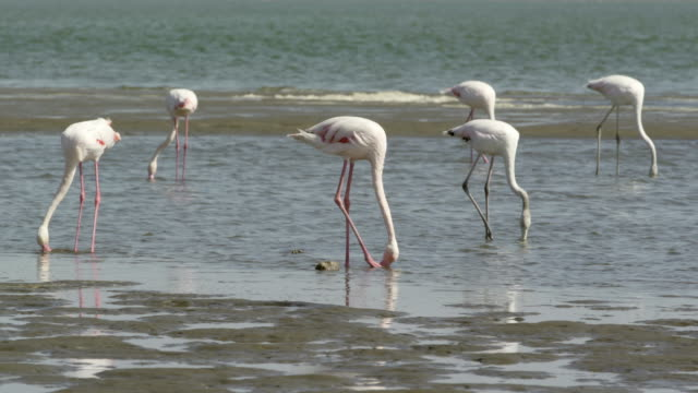 vídeos y material grabado en eventos de stock de group of flamingoes foraging at beach, birds in sea - swakopmund, namibia - forrajear