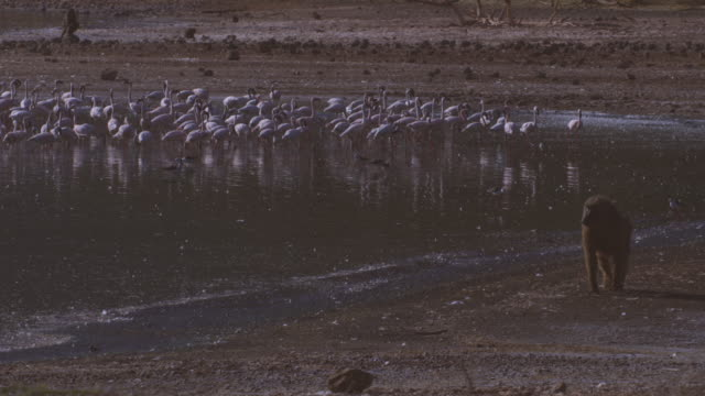 group of flamingoes on shore of lake bogoria with olive baboon walking in foreground - flamingo bird stock videos & royalty-free footage