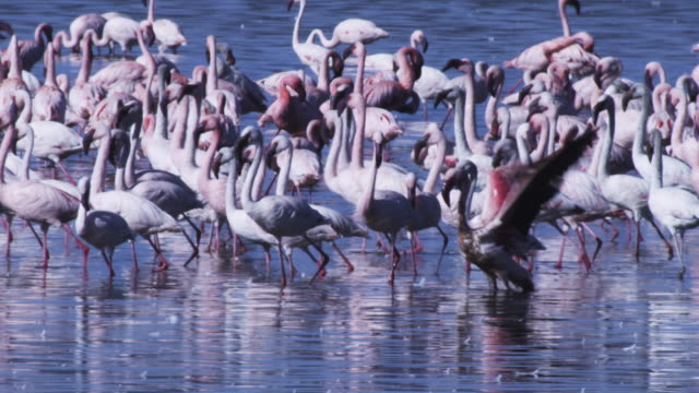 group of flamingoes with one struggling to balance in lake shallows - balance stock videos & royalty-free footage