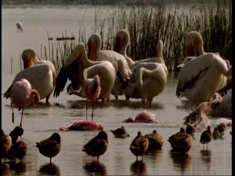 ms group of flamingos and pelican preening in water, ducks in foreground, gujarat, india - preening animal behavior stock videos & royalty-free footage