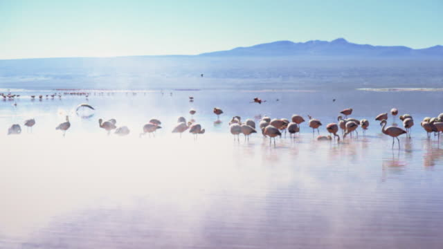 group of flamingos in a lake at salar de uyuni - ボリビア点の映像素材/bロール