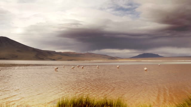 group of flamingos in a lake - bolivian andes stock videos & royalty-free footage