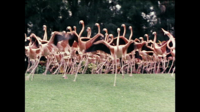 vidéos et rushes de group of flamingos running around enclosure; miami, 1980 - animal mouth