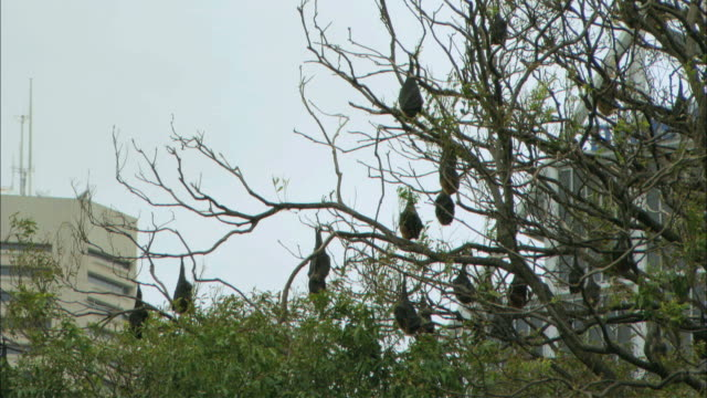 WS Group of flying fox birds hanging from tree / Australia