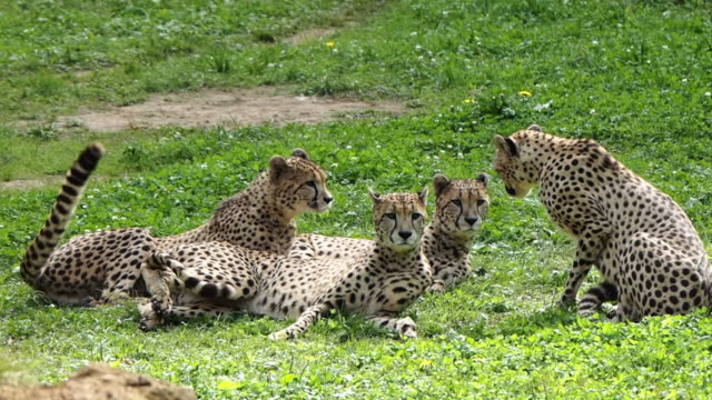 vídeos y material grabado en eventos de stock de a group of four cheetahs. one who is standing lies down and in unison the other three return to their rest. acinonyx jubatus. - un animal