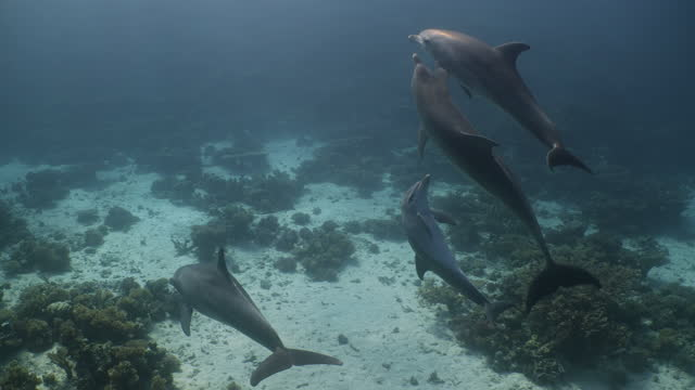 group of four dolphins including mother and calf in red sea - cetacea stock videos & royalty-free footage