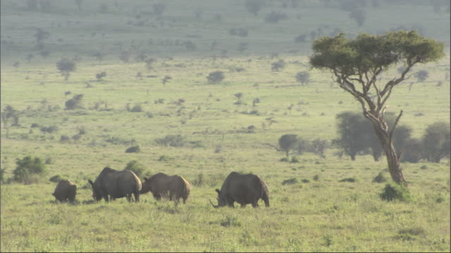 group of four rhino grazing, kenya, africa - herbivorous stock videos & royalty-free footage