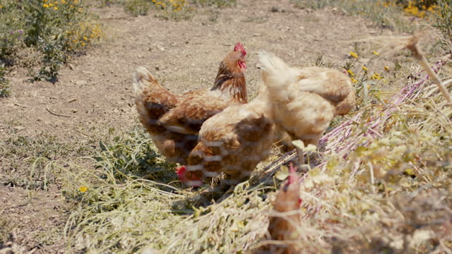 group of free range chickens in the sun - eating stock videos & royalty-free footage