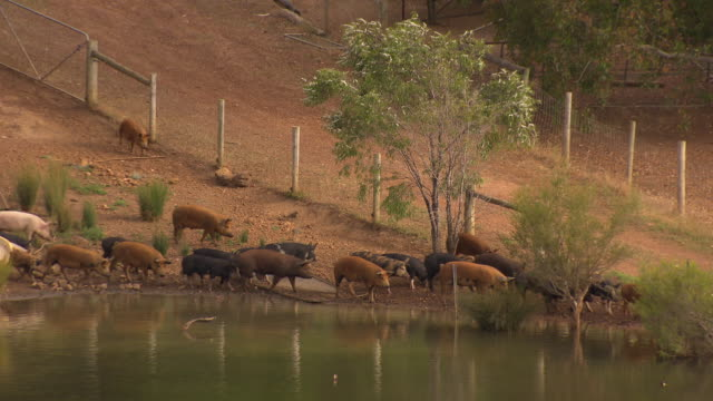 A group of free range pigs make their way down to a dam