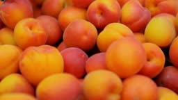 group of freshly picked fresh apricots. Fruit, nature, health