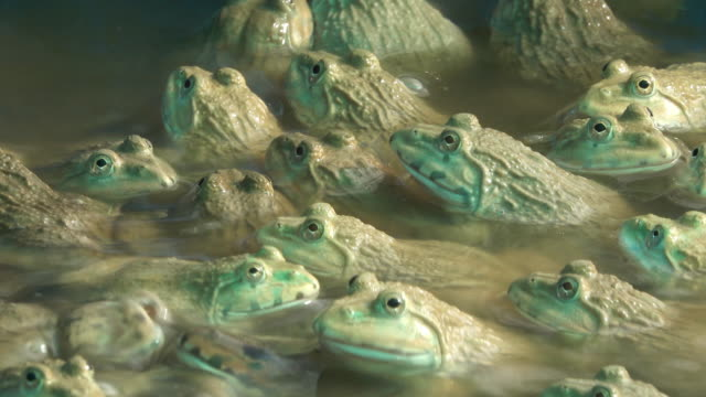 group of frog - large group of animals stock videos & royalty-free footage