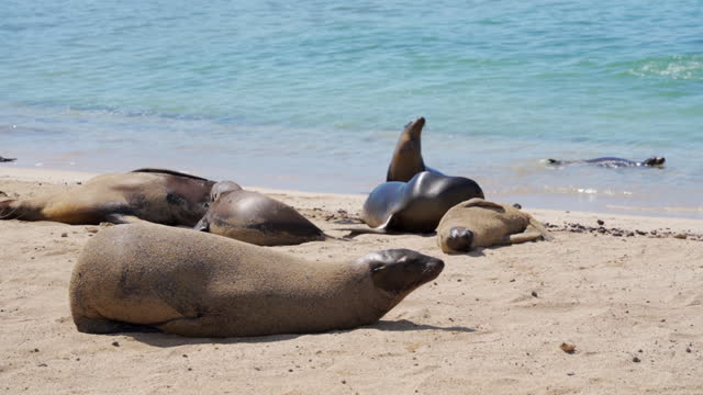 vídeos y material grabado en eventos de stock de group of furry seals recline on sandy beach and frolic in turquoise waves on a beautiful sunny day in tropics - galapagos islands, ecuador - recostarse