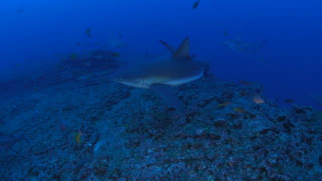 group of galapagos shark cruising in coral reef - galapagos shark stock videos & royalty-free footage