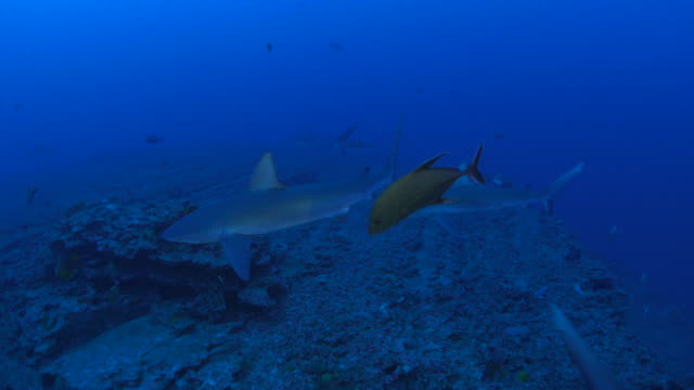 group of galapagos shark hunting in coral reef - galapagos shark stock videos & royalty-free footage