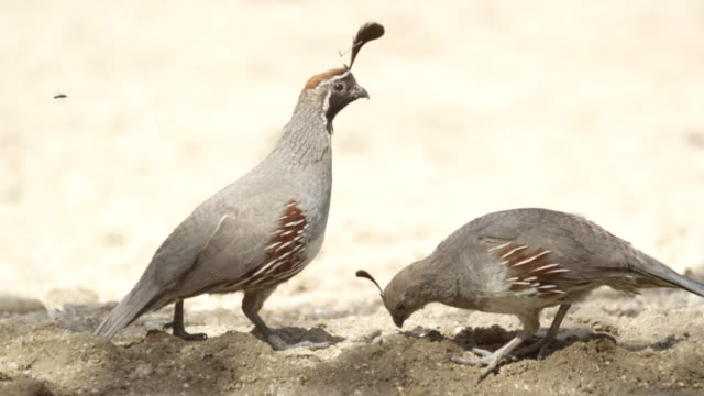 group of gambel's quail foraging beside water hole - foraging stock videos & royalty-free footage