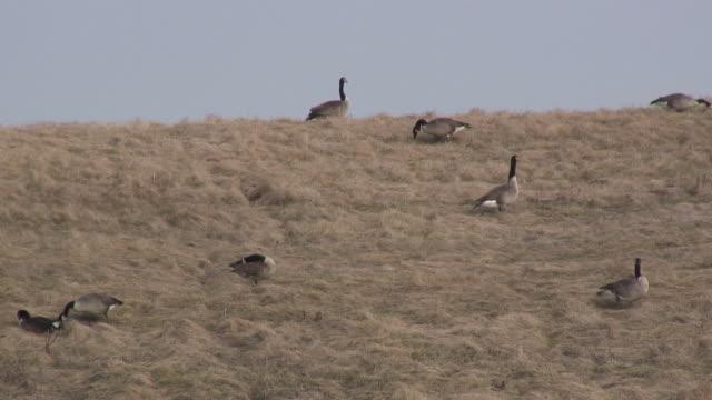 stockvideo's en b-roll-footage met group of geese - hd 1080/60i - middelgrote groep dieren