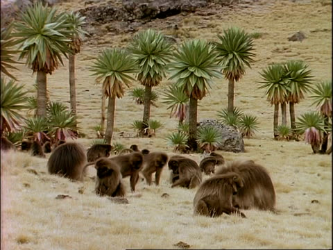 wa group of gelada baboons foraging amongst grasses, ethiopia, africa - foraging stock videos & royalty-free footage