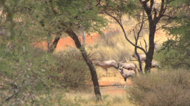 MS Group of gemsbok running / Kalahari, Northern Cape, South Africa