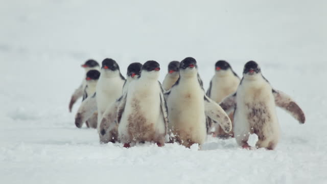 group of gentoo penguin chicks - young animal video stock e b–roll