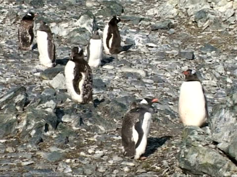ms group of gentoo penguin, pygoscelis papua, on rocky ground, some preening and moulting, antarctica - preening animal behavior stock videos & royalty-free footage