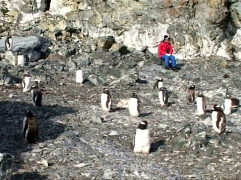 ms group of gentoo penguins, pygoscelis papua, resting on rocks with person sitting in background, sunny, antarctica - ekoturism bildbanksvideor och videomaterial från bakom kulisserna