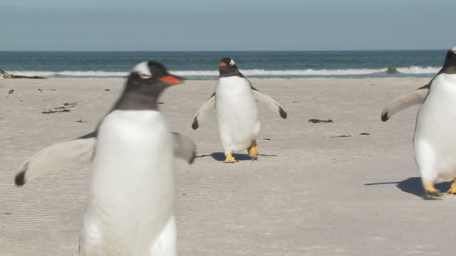 ms pan group of gentoo penguins pygoscelis papua standing on beach near sea / volunteer point, falkland islands - small group of animals stock videos & royalty-free footage