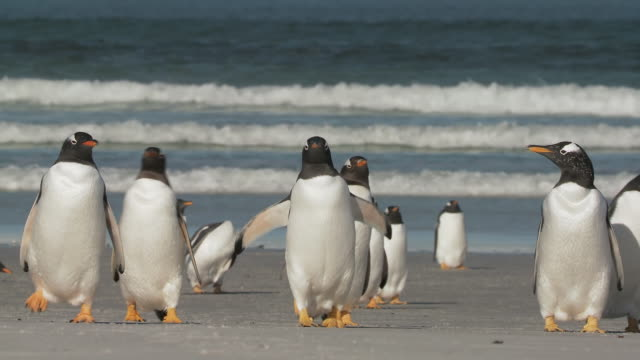 WS TS Group of Gentoo Penguins Pygoscelis papua standing on beach / Volunteer Point, Falkland Islands