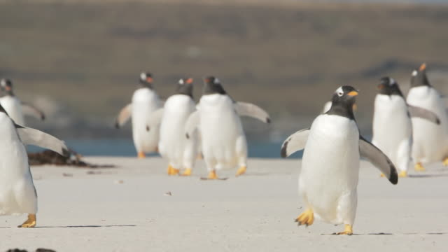 ws pan group of gentoo penguins pygoscelis papua walking on beach towards camera / volunteer point, falkland islands - gentoo penguin stock videos and b-roll footage