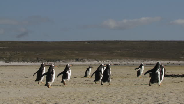 ws ts group of gentoo penguins pygoscelis papua walking on beach / volunteer point, falkland islands - gentoo penguin stock videos and b-roll footage