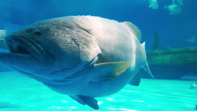 group of giant grouper fish in underwater world - aquarium stock videos & royalty-free footage