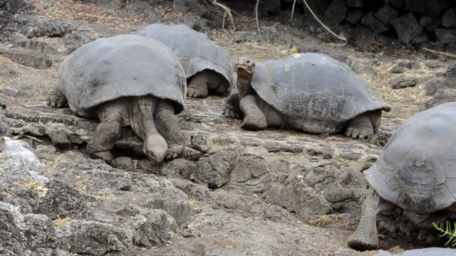 ms group of giant tortoises on rock / santa cruz, galapagos islands, ecuador     - landschildkröte stock-videos und b-roll-filmmaterial