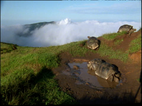 vídeos de stock, filmes e b-roll de group of giant tortoises shift around pool as cloud billows behind, galapagos islands - cágado réptil