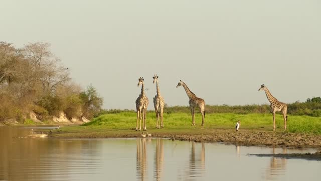 group of giraffe crossing river at serengeti national park in tanzania - animals in the wild stock videos & royalty-free footage