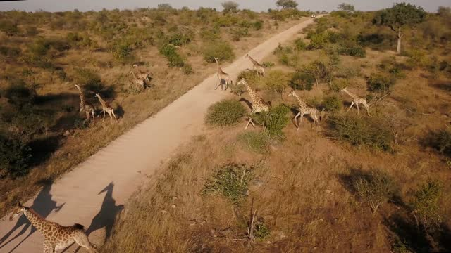 group of giraffes crossing road in kruger national park, south africa - wildlife reserve stock videos & royalty-free footage