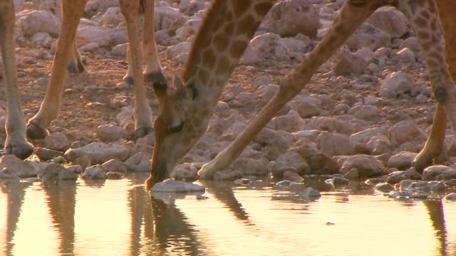 a group of giraffes drinking water/ entabeni private game reserve/ south africa - small group of animals stock videos & royalty-free footage
