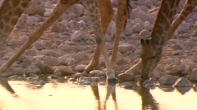 vidéos et rushes de a group of giraffes drinking water/ entabeni private game reserve/ south africa - courbe