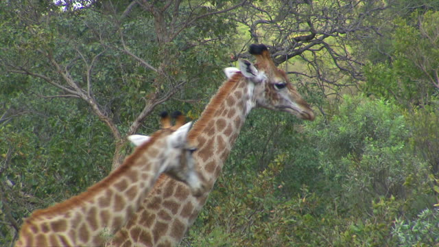vídeos de stock e filmes b-roll de ms group of giraffes eating from tree at entabeni private game / limpopo, south africa - quatro animais