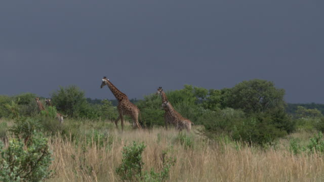 Group of giraffes South Africa